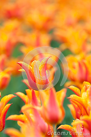 Blooming red and orange tulips in spring after a refreshing rain