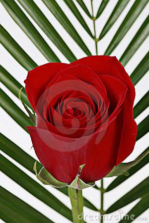 Blooming Red Rose Royalty Free Stock Photos - Image: 12906428