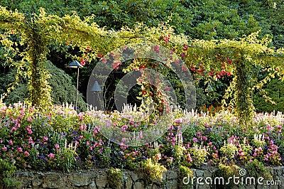 Blooming rose espalier