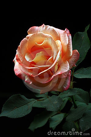 Blooming rose flower