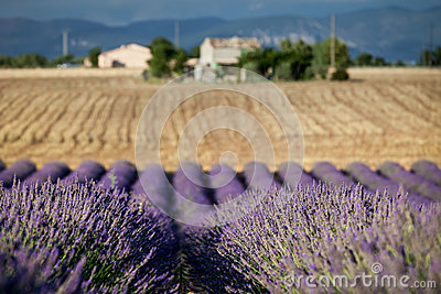 Blooming rows of lavender, Provence, France