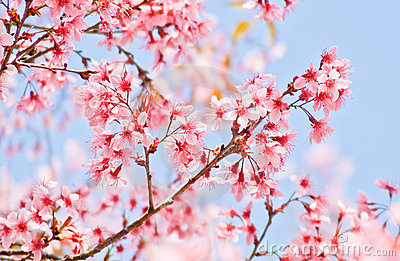 Blooming sakura flower