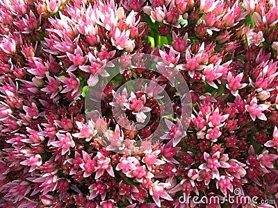 Blooming Sedum prominent, or stonecrop (sedum)