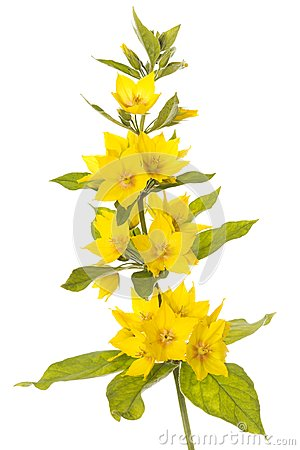 Blooming spotted loosestrife