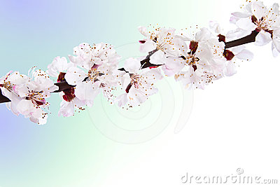 Blooming sprig of almond.