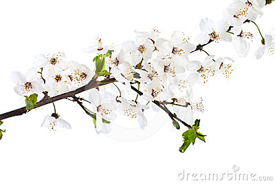 Blooming sprig of cherry.