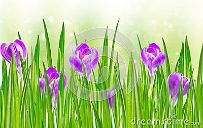 Blooming spring crocus flower