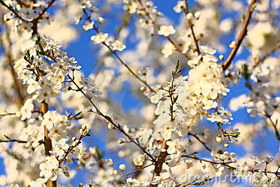 Blooming tree as background
