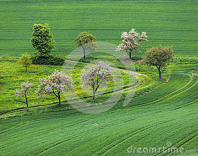 Blooming tree in the field