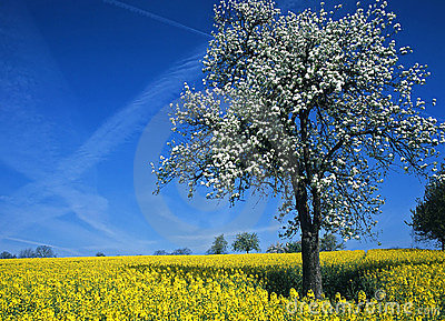 Blooming Tree in Rape-Field #1