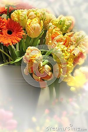Blooming Tulip flowers