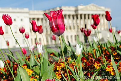 Blooming tulips in Washington DC