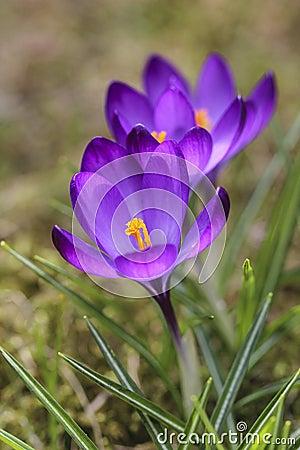 Blooming violet crocuses on green grass
