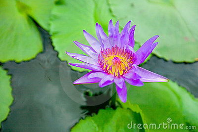 Blooming water lily ( Lotus )
