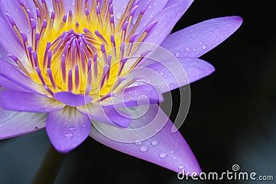 Blooming Waterlily