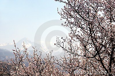 Blooming wild apricot tree