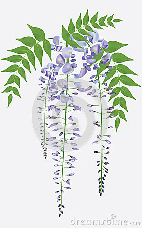 Blooming wisteria with leaves, vector
