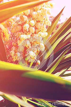 Free Blooming Yucca Palm Tree With Delicate White Flowers And Spiky Green Leaves. Beautiful Soft Sunlight Royalty Free Stock Images - 98155939