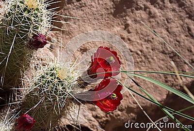 Blooms on Hedgehog Cactus
