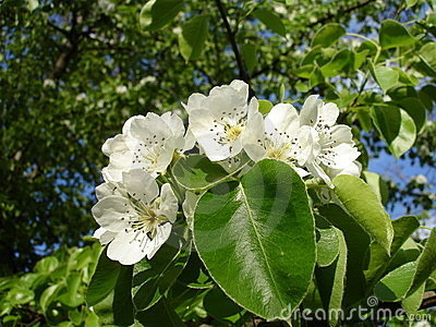 Blooms Pear