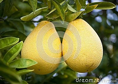 Bloomsweet Grapefruit