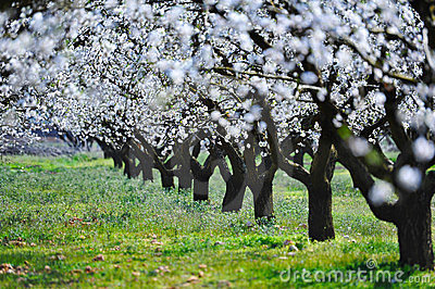 Blossom almond trees