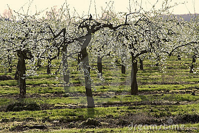 Blossom apple orchards