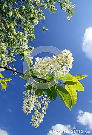 Free Blossom Bird Cherry Tree Branch Stock Image - 5338371