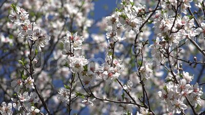 Blossom Blooming Trees Orchard Spring Fruits Flowers Cherry Plum Apple Peach stock footage