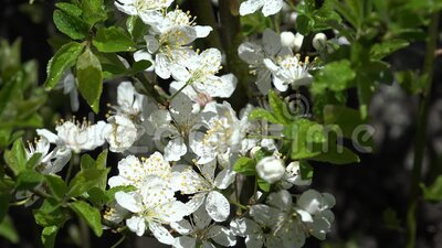 Blossom Blooming Trees Orchard Spring Fruits Flowers Cherry Plum Apple Peach stock video