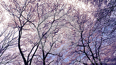 Blossom cherries