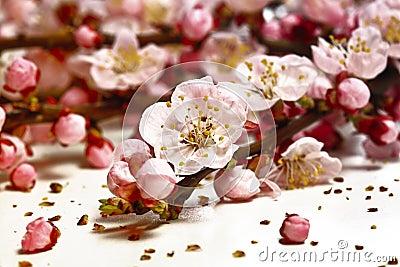 Blossom cherry flower
