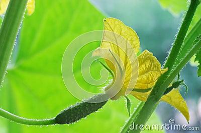 Blossom cucumber