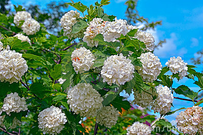 Blossom of guelder rose
