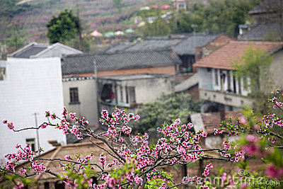 Blossom and houses