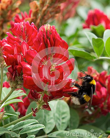 Free Blossom Lupine And One Big Bee Collecting Honey On Sunny Day On Spring In Malta, Red Lupine Field, Maltese Nature, Red Flowers Fie Stock Photography - 87583212