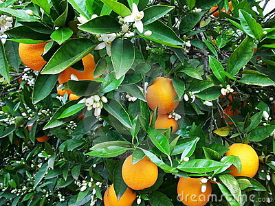 Blossom and oranges on tree