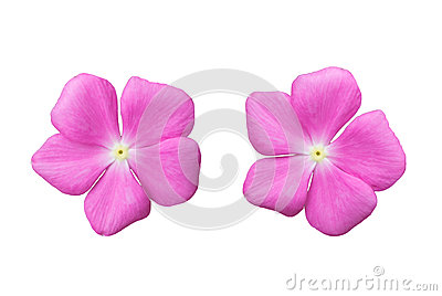 Blossom pink flower isolated on white background