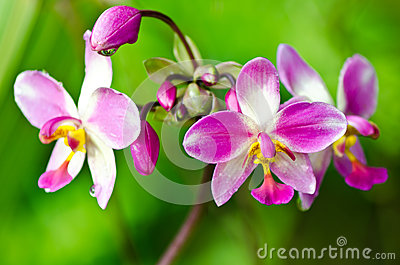 Blossom pink orchid