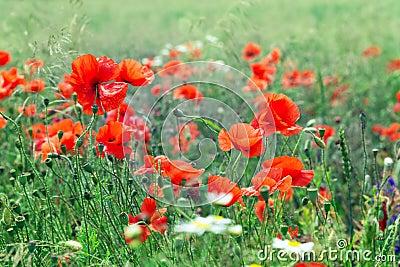 Blossom poppy flowers