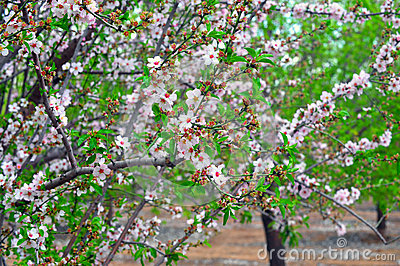 Blossom and Spring Time