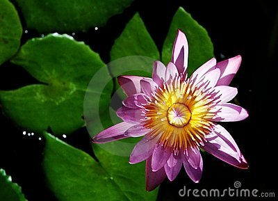 Blossom water lotus.