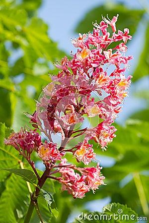 Blossomchestnut tree