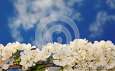 Blossomed branch
