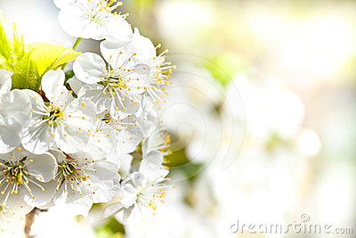 Blossoming apple in spring with shallow focus