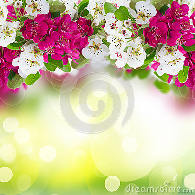 Free Blossoming Apple Tree Flowers Royalty Free Stock Photography - 49631757