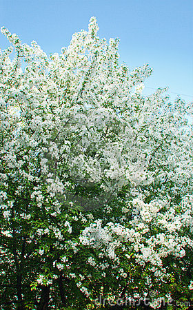 Blossoming apple-tree in the spring