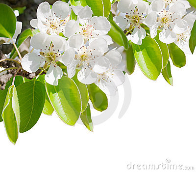 Blossoming branch of a pear tree