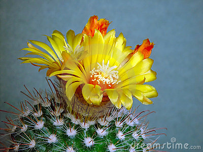 Blossoming cactus of sort Parodia.