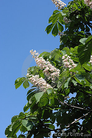 Free Blossoming Chestnut Stock Images - 6047304